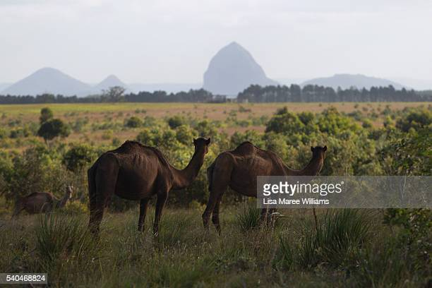 Camels look out at the Glasshouse Mountains from QCamel dairy on April 6 2016 in Sunshine Coast Australia QCamel founded by Lauren Brisbane and her...
