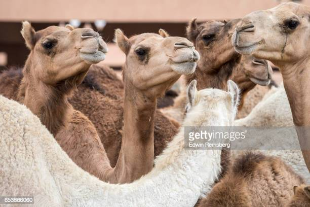 Camels looking around