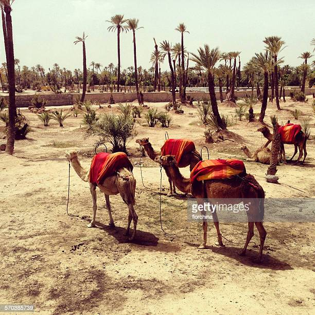 Camels, Marrakesh, Morocco