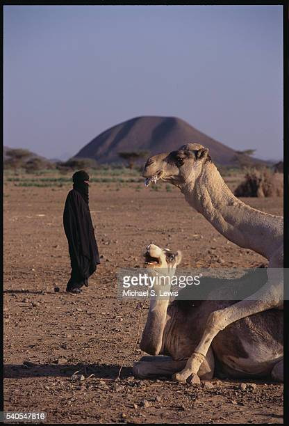 Camels Mating in the Sahara Desert