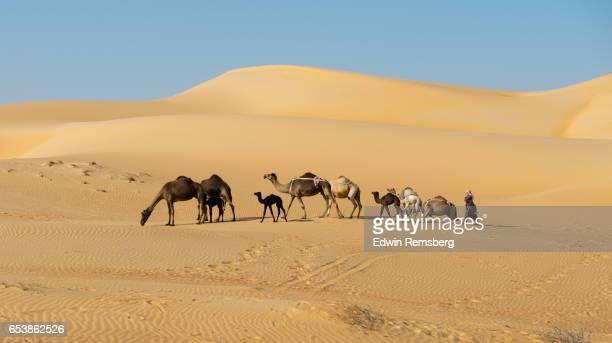 camels moving through the desert - キャメル色 ストックフォトと画像