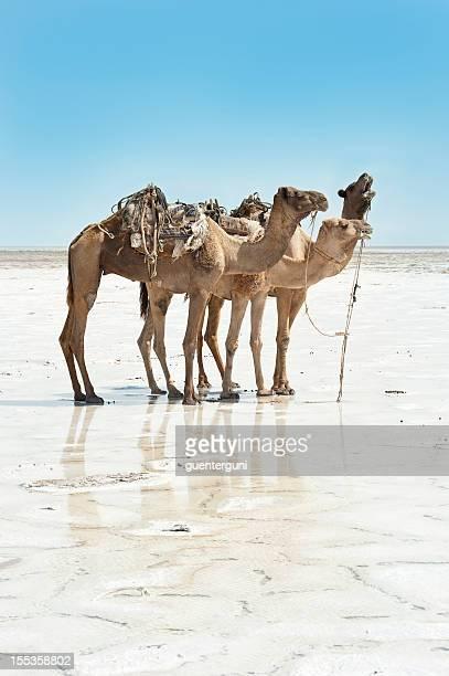 Caravane de chameaux dans un désert de sel, Danakil, Éthiopie