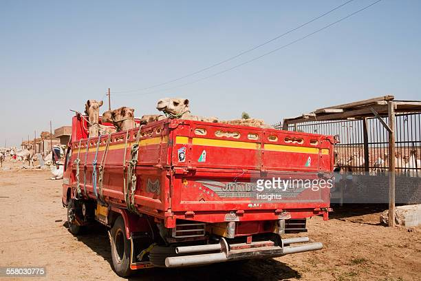 Camels On A Truck At The Camel Market Birqash Al Jizah Egypt