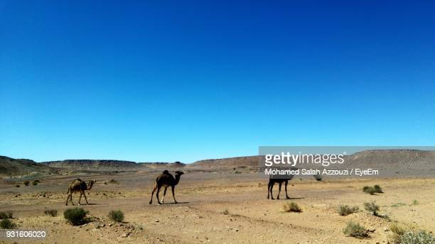Camels On Desert Against Clear Blue Sky