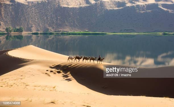 Camels on Gobi Desert, Inner Mongolia