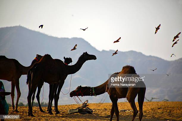 camels on thar desert - hema narayanan stock pictures, royalty-free photos & images