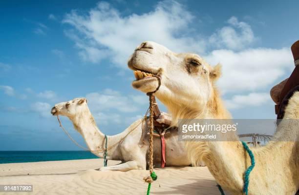 Chameaux sur la plage de Boa Vista, Cap Vert