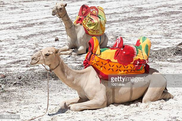 camels - mombasa stock photos and pictures