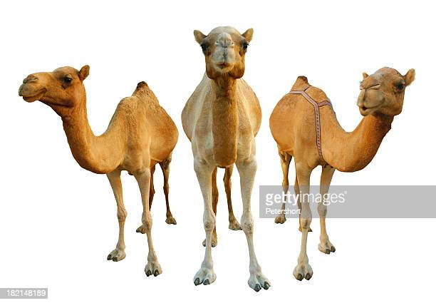 camels - camel stock pictures, royalty-free photos & images