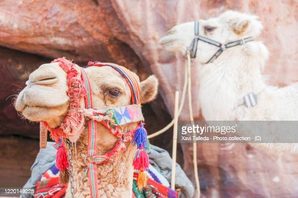 camels portrait - letrac stock pictures, royalty-free photos & images