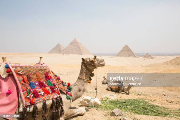 Camels relax in desert foreground, with distant pyramids