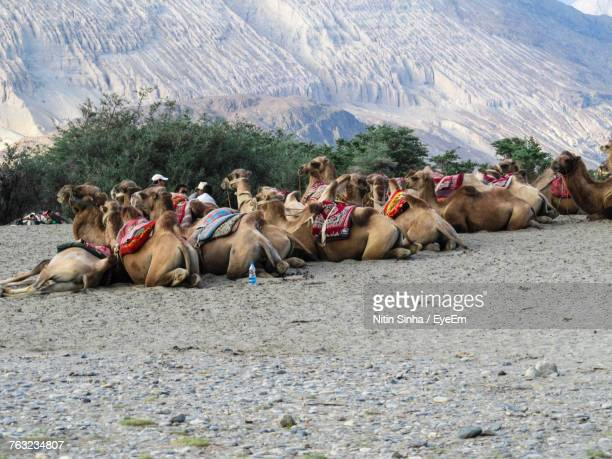 camels relaxing at desert - kashmir stock photos and pictures