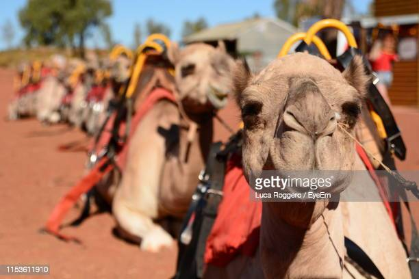 camels relaxing on field - uluru stock pictures, royalty-free photos & images