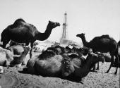Camels rest near khurais well an exploratory well belonging to an picture id2989652?s=170x170