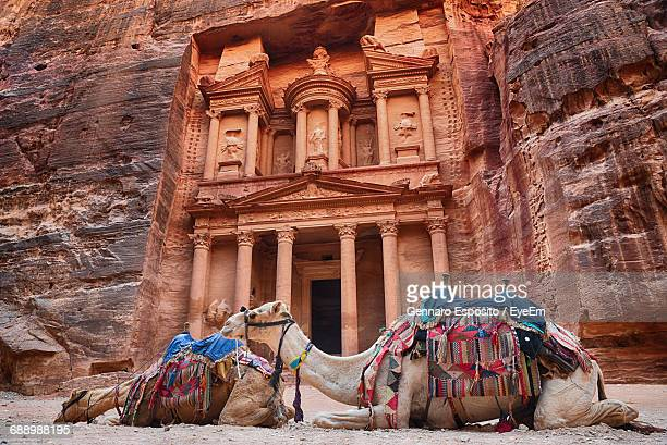 camels resting by petra - jordan stock pictures, royalty-free photos & images