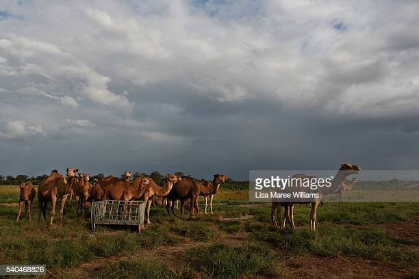 Camels roam in the pastures of QCamel dairy on April 4 2016 in Sunshine Coast Australia QCamel founded by Lauren Brisbane and her family in 2014 is...