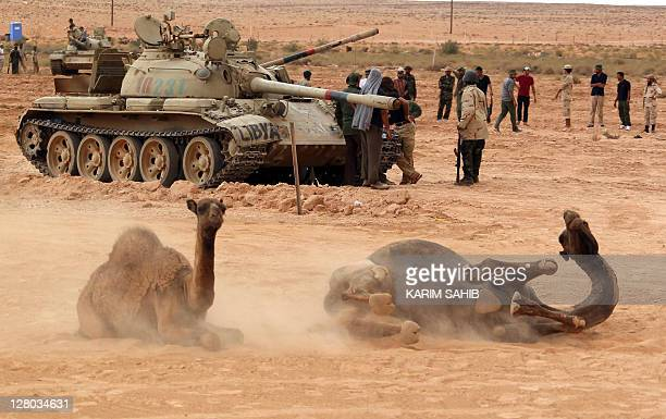 Camels sit in front of tanks belonging to Libyan National Transitional Council fighters on the outskirts of Bani Walid on September 29 2011...