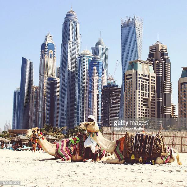 Camels Sitting On Sand Against Modern Skyscrapers At Dubai Marina