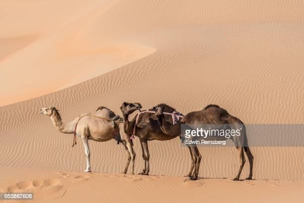 camels stand in line - キャメル色 ストックフォトと画像