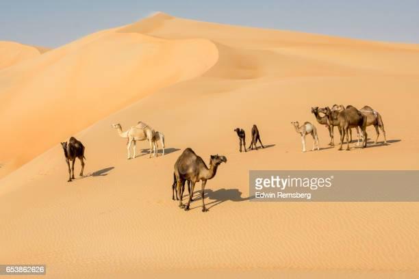 camels standing around a sand dune - キャメル色 ストックフォトと画像