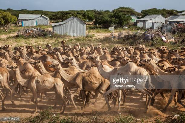 CONTENT] Camels travelling towards Mogadishu along the Afgoye corridor May 30 2012 Ugandan and Burundian soldiers under an African Union banner...