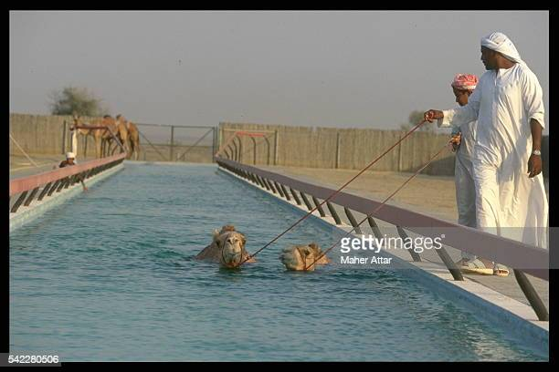 Camels undergoing thalassotherapy
