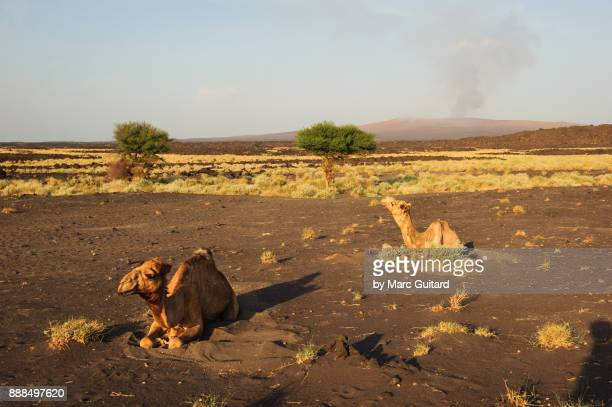 camels used for transporting gear during hikes to erta ale volcano which is seen on the horizon. danakil depression, ethiopia - danakil depression stock pictures, royalty-free photos & images