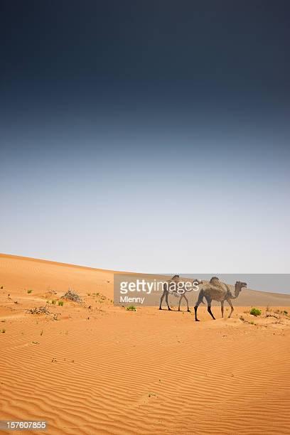 kamele wahiba sands desert-arabien oman - camel active stock-fotos und bilder