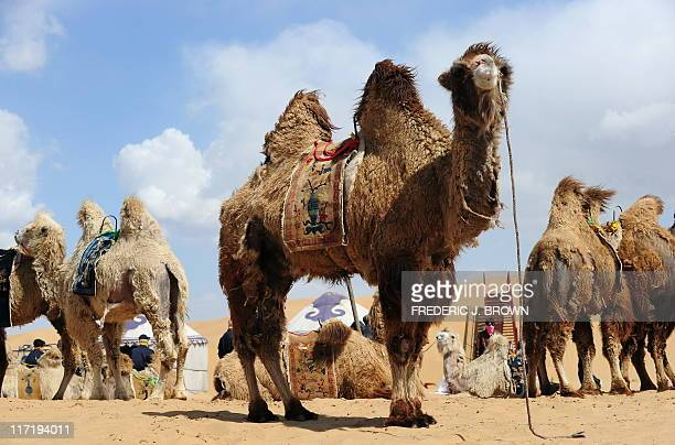 Camels wait for tourists at the Resonant Sand Gorge in the Kubuqi Desert south of Baotou on April 22, 2011 in Inner Mongolia, northwest China. The...