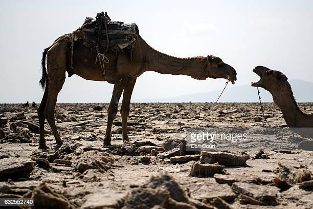 Camels wait to be loaded with salt blocks mined by hand in the Danakil Depression on January 22, 2017 in Dallol, Ethiopia. The depression lies 100...