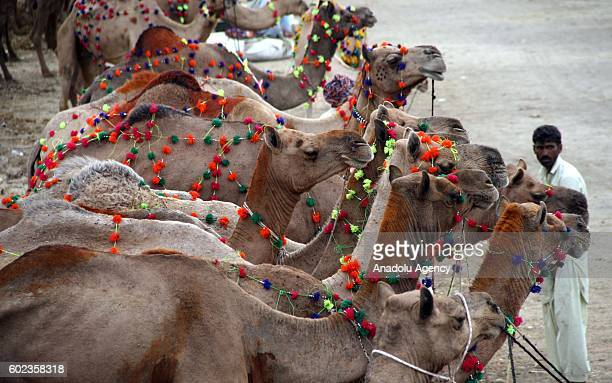Camels wait to be sold at a livestock market set up for the upcoming Muslim sacrificial festival Eid alAdha in Karachi Pakistan on September 11 2016