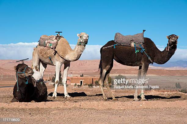 CONTENT] Camels waiting for tourists just before reaching Ait Benhaddou Morocco 2013