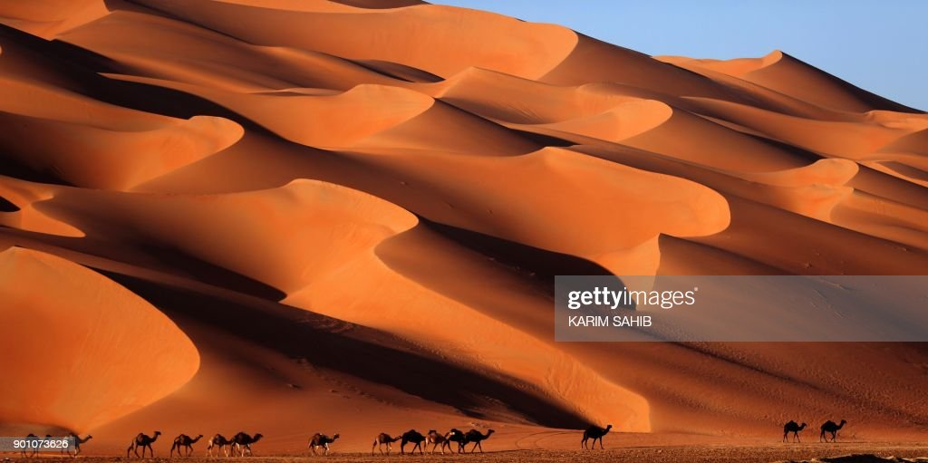 Camels walk across the Liwa desert, some 250 kilometres west of the Gulf emirate of Abu Dhabi, during the Liwa 2018 Moreeb Dune Festival on January 4, 2018. The festival, which attracts participants from around the Gulf region, includes a variety of races (cars, bikes, falcons, camels and horses) or other activities aimed at promoting the country's folklore. /
