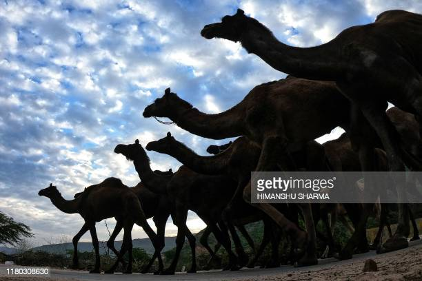 TOPSHOT Camels walk along a road to reach the Pushkar Camel Fair in Pushkar in the western state of Rajasthan on November 6 2019 Thousands of...