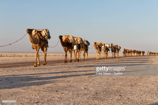 Camels Walking At Desert Against Clear Sky During Sunset