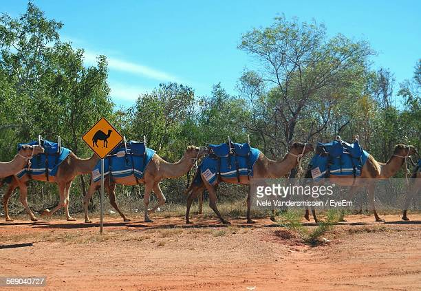 Camels Walking By Trees On Field