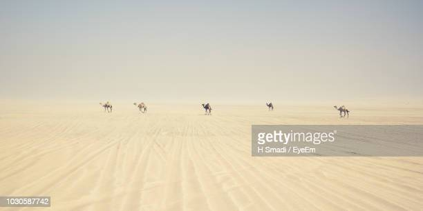 camels walking on desert against clear sky - qatar fotografías e imágenes de stock
