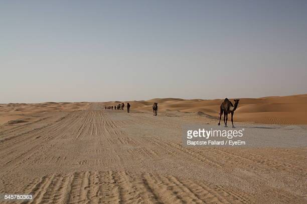 Camels Walking On Desert Road Against Clear Sky