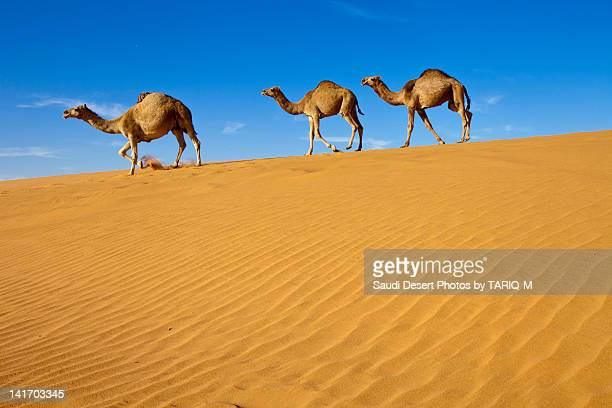 Camels walking on sand dunes