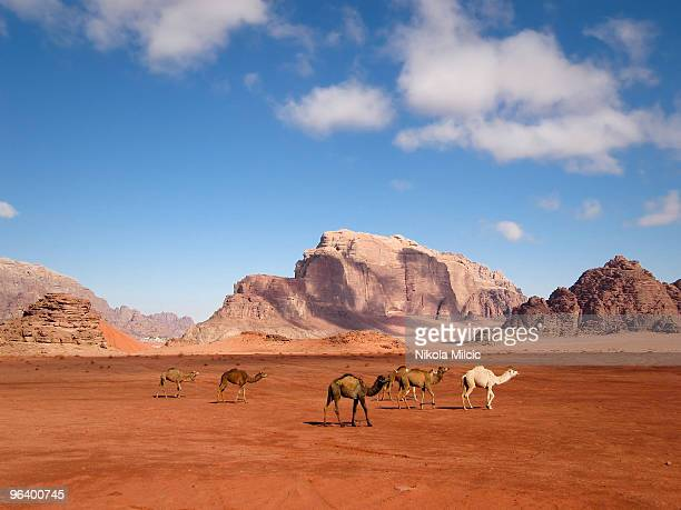 camels walking through the desert - jordan stock pictures, royalty-free photos & images