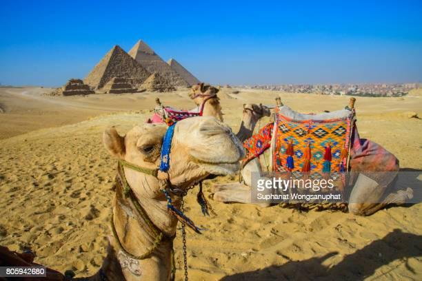 Camels with Pyramids at Giza