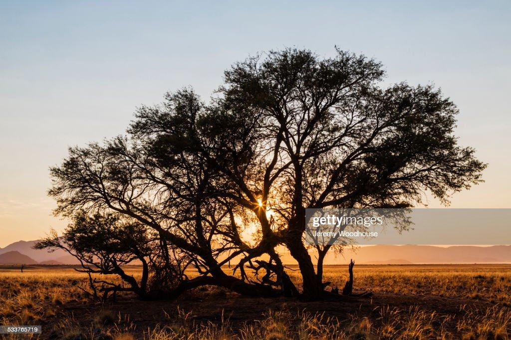 Camelthorn tree in desert landscape : Foto stock