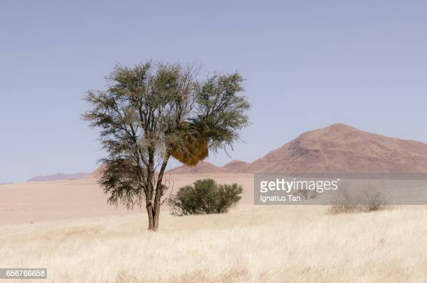 camelthorn tree with social weaver nest in a desert landscape - ignatius tan stock photos and pictures