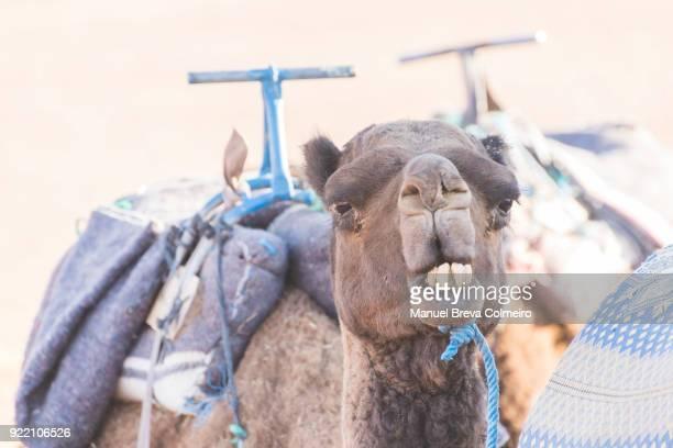 Camelus dromedarius - dromedary