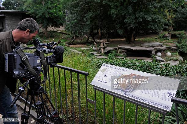 A camera man films the tiger's enclosure at the zoo in Cologne western Germany on August 25 2012 According to the police a zoo keeper has died after...