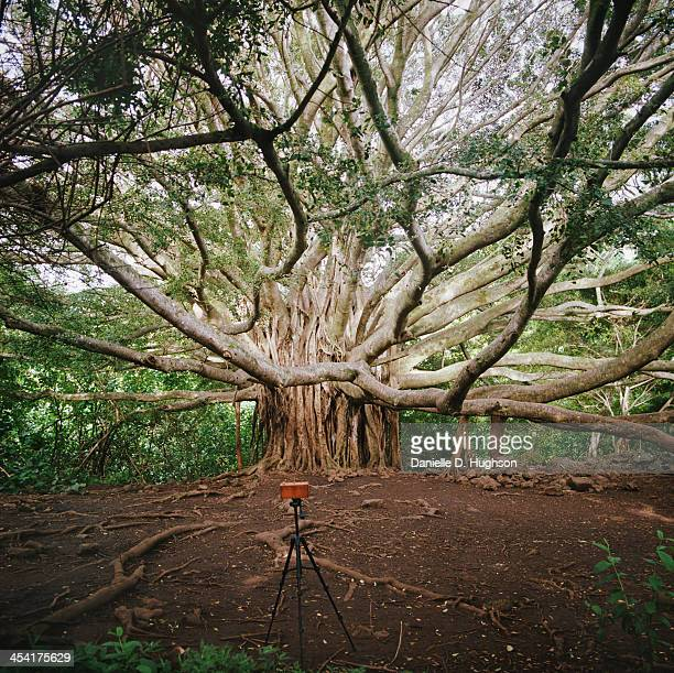camera photographing banyan tree - banyan tree stock photos and pictures