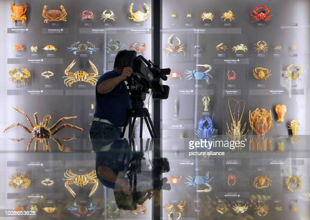 A cameraman films various colored crabs in the natural history area at the museum in Wiesbaden Germany 06 May 2013 After almost four years of...