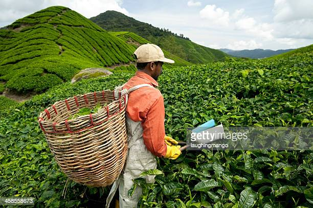 cameron highlands malaysia agricultural occupation