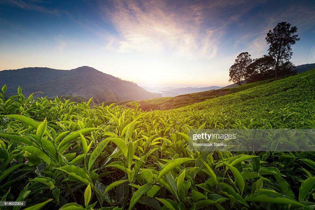 Cameron highlands, Malaysia : Stock Photo