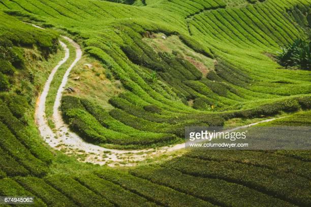 Cameron Highlands, Malaysia.